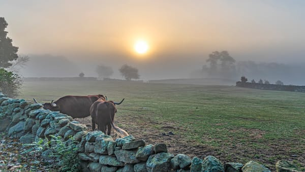 Brookside Farm Oxen Fog Art | Michael Blanchard Inspirational Photography - Crossroads Gallery