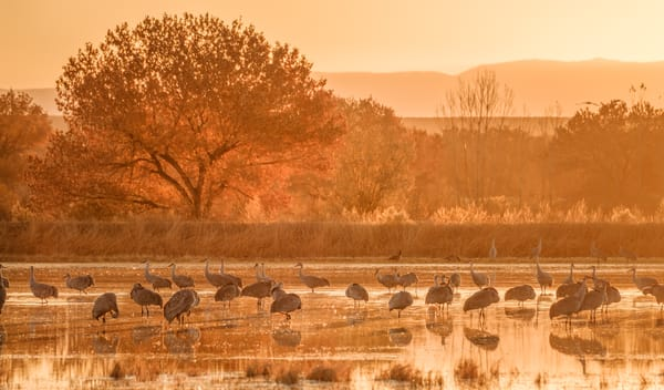 On Golden Crane Pond : Sandhill Cranes, Bosque