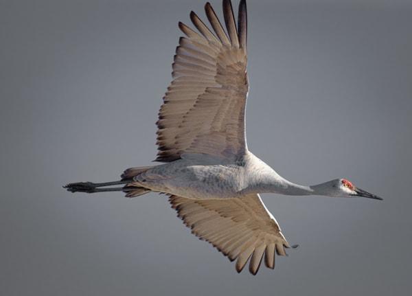 Sandhill Crane and Silvery Sky