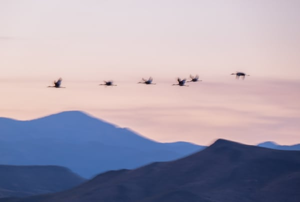 Flying Each Other Home : Sandhill Cranes Over Bosque