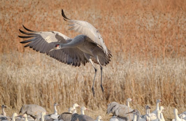 Sandhill Masked Crusader Swoops In for a Landing: Bosque del Apache