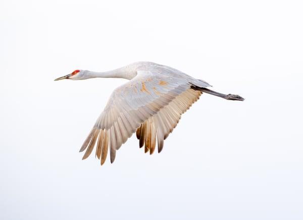 Wonder Flight  : Solitary Sandhill Crane