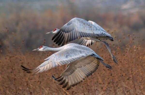 Flying Together : Sandhill Crane Couple