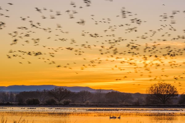Golden Dawn Patrol : Snow Geese Sunrise