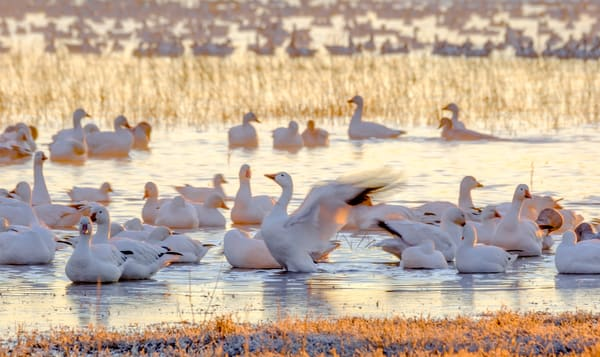 Snow Goose Celebrating Dawn  Photography Art | Susan Preston Studio
