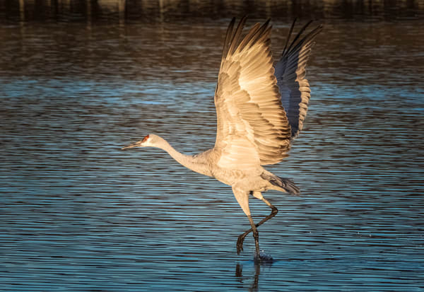 Sandhill Crane Dances on Water: Bosque del Apache
