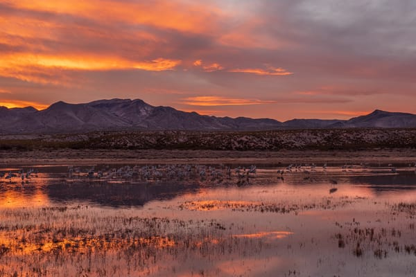 Cranes Tucking In Under a Marmalade Sky:Bosuqe del Apache