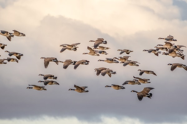 Canada Geese Calling in the Clouds