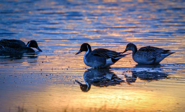Magical Morning Ducks : Photographs for sale