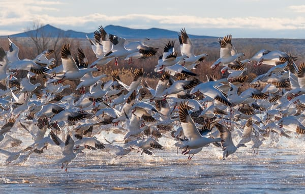 Snow Geese Afternoon Blast-Off : Bosque del Apache Wildlife Refuge