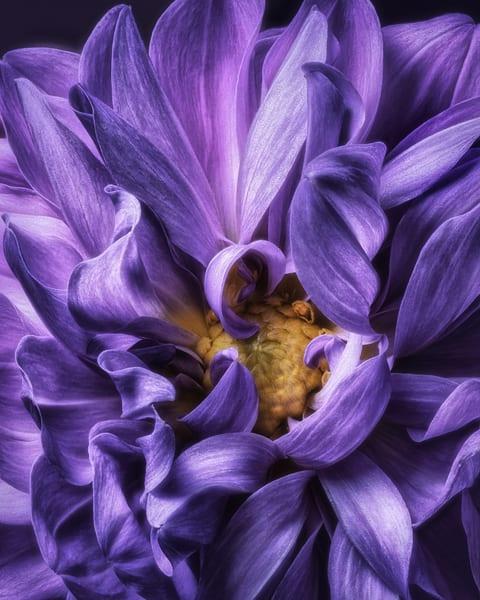 Royal Dahlia Flower print
