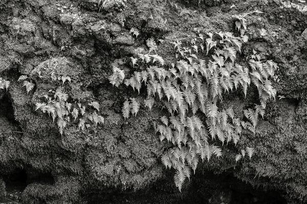 Ferns and Moss, Rainbow Falls State Park, Washington, 2015