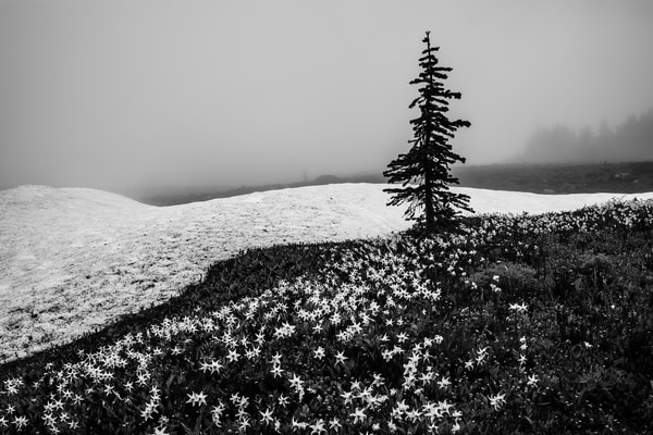 Lone Alpine Tree, Mount Rainier National Park, Washington, 2017