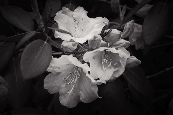 Portrait of a Rhododendron, 2014
