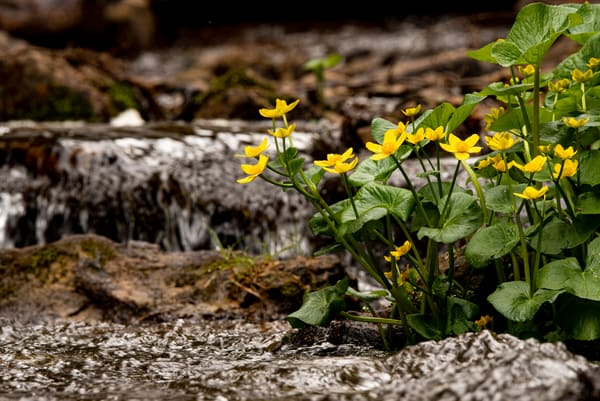 Waterfall Marigolds Floral Summer