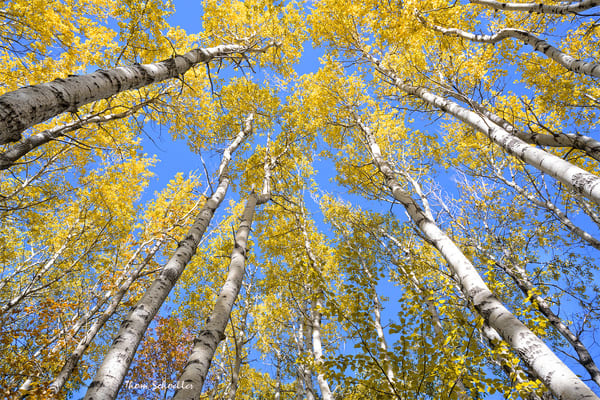 Golden yellow Aspen foliage fine art nature photography prints for sale | Thomas Schoeller Photography