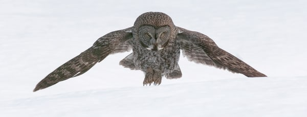 Great Gray Owl Landing