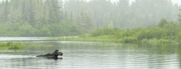 A serene early morning scene aa young bull moose crosses a pond in early misty light