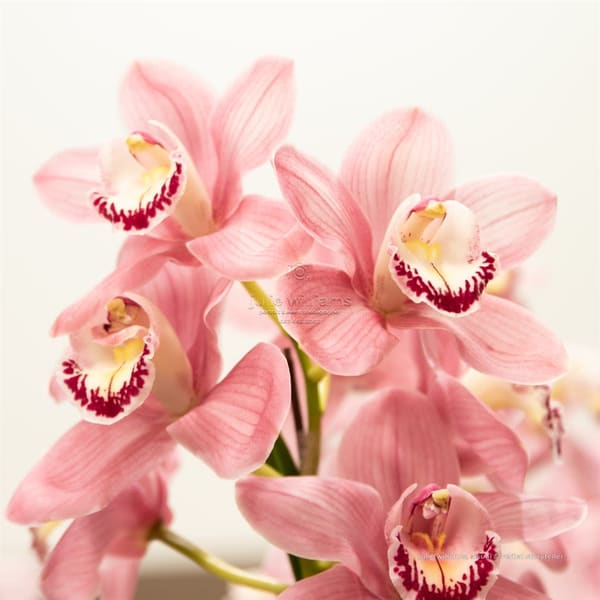 Stunning Pink Orchid | Julie Williams Fine Art Photography