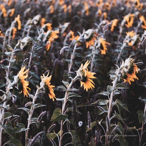 Dramatic Rows Of Sunflowers | Julie Williams Fine Art Photography