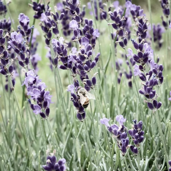Vintage View Of Lavender And Bee | Julie Williams Fine Art Photography