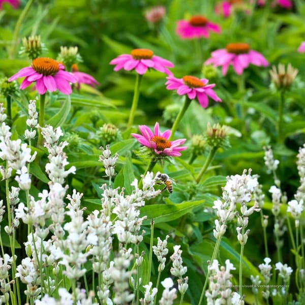 White Lavender And Echinacea | Julie Williams Fine Art Photography