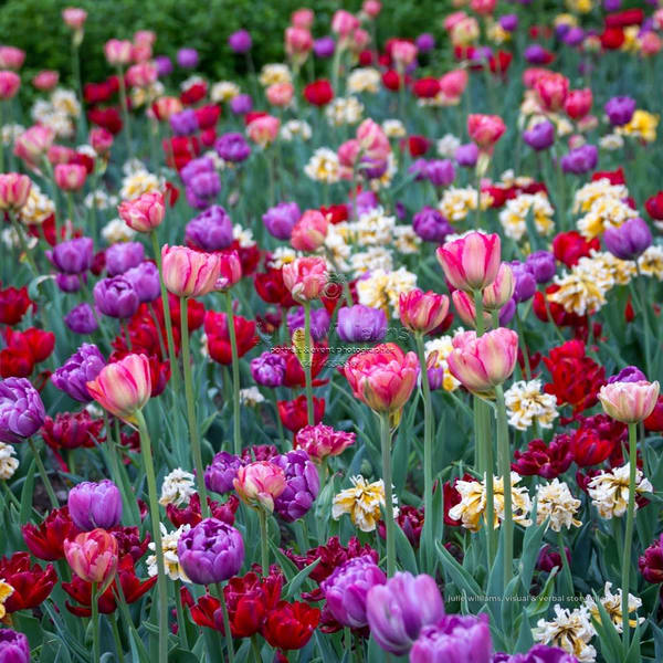 A Field Of Multi Coloured Tulips | Julie Williams Fine Art Photography