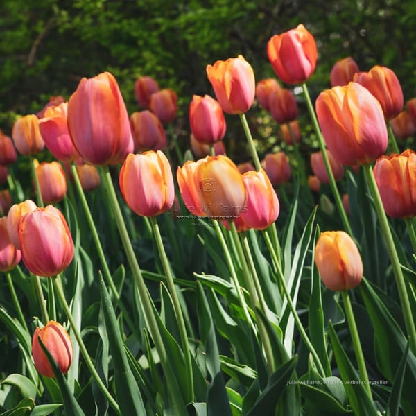Sun Kissed Tulips | Julie Williams Fine Art Photography