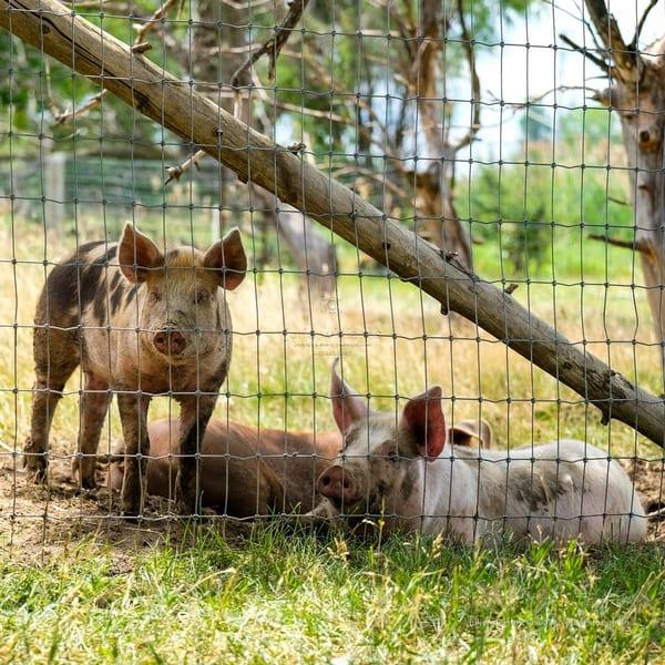 Muddy Pigs | Julie Williams Fine Art Photography