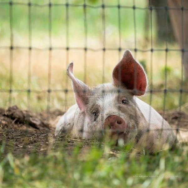 Porcine Mud Bath | Julie Williams Fine Art Photography
