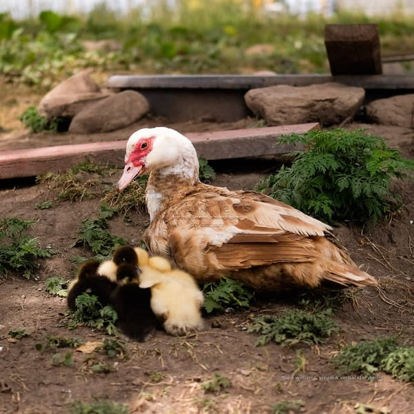 Mama Watching Over Her Chicks | Julie Williams Fine Art Photography