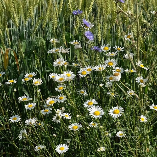 Field Of Daisies, Grey County | Julie Williams Fine Art Photography