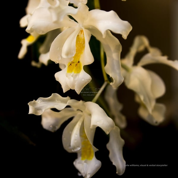 White Orchid Display | Julie Williams Fine Art Photography