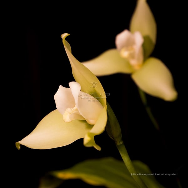 White Orchids | Julie Williams Fine Art Photography