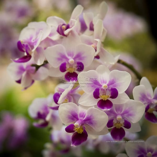Dainty Orchids | Julie Williams Fine Art Photography