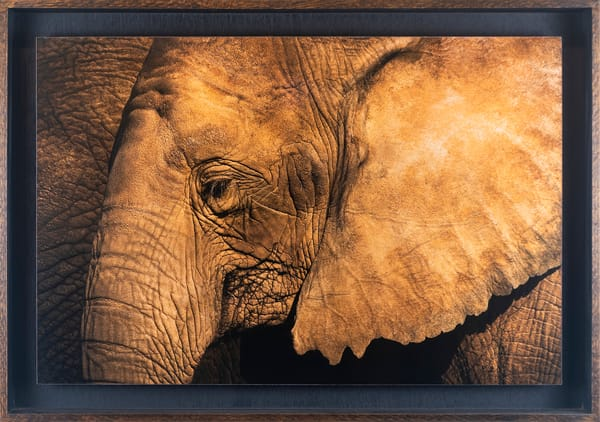 Elephant Repose - Float Framed