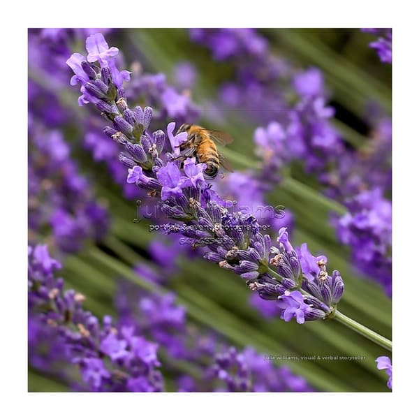 Bee Enjoying Lavender (Border) | Julie Williams Fine Art Photography
