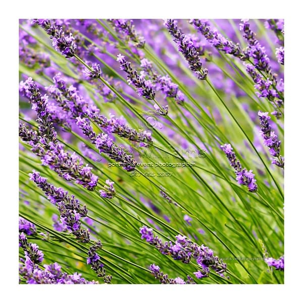Beautiful Lavender | Julie Williams Fine Art Photography