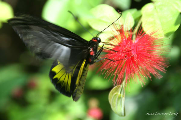 Key West Butterfly Center 5 Art | Susan Searway Art & Design