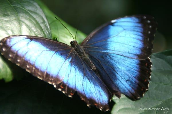 Blue Morpho Butterfly Art | Susan Searway Art & Design