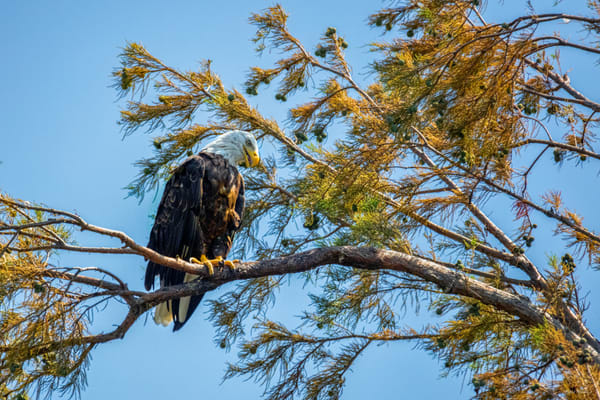 Bald Eagle 8821 Fss Photography Art | Koral Martin Fine Art Photography