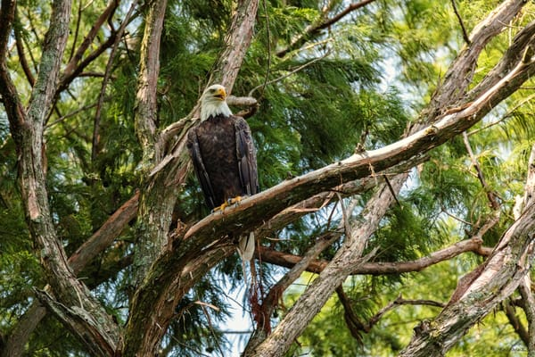 Bald Eagle 9164 Fss Photography Art | Koral Martin Fine Art Photography