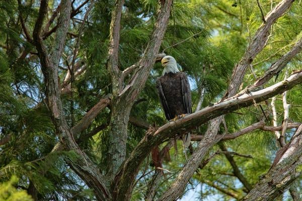 Bald Eagle Tree 9174  Art | Koral Martin Fine Art Photography