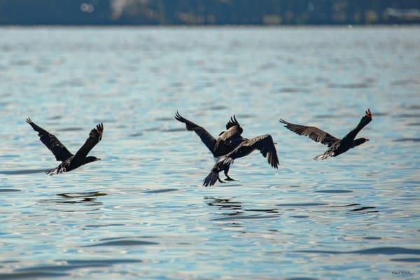 Cormorants Takingflight 8768  Art | Koral Martin Fine Art Photography