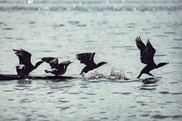 Cormorants Takingflight 8761  Art | Koral Martin Fine Art Photography