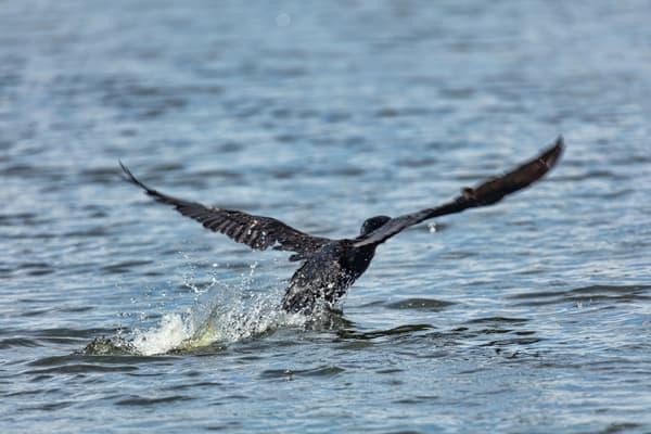Comorant Take Off Water 9237  Art | Koral Martin Fine Art Photography