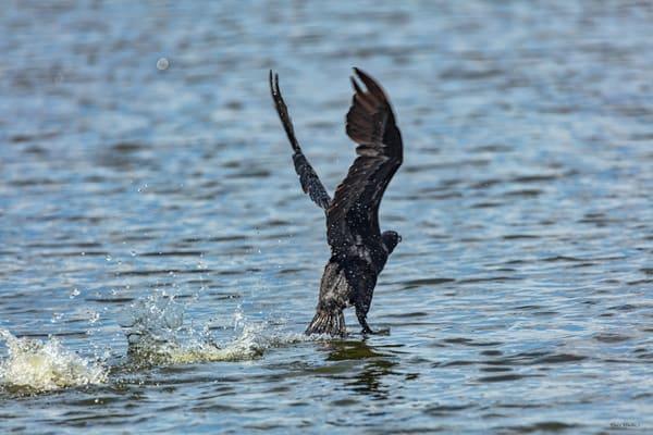 Comorant Take Off Water 9238  Art | Koral Martin Fine Art Photography