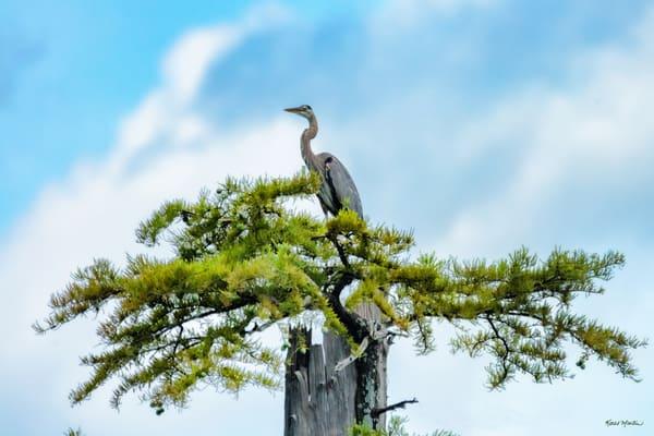 Heron Tree Top 9302  Art | Koral Martin Fine Art Photography