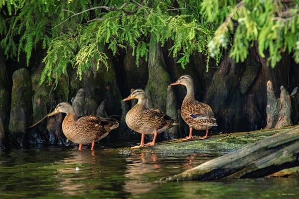 Ducks Cypress Knees 9282  Art | Koral Martin Fine Art Photography