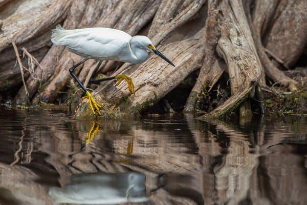 Snowy Egret Photography Art | KPBPHOTO